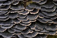 Closer-view-of Turkey-Tail-mushroom-png