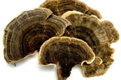 Dried--Turkey-Tail mushroom