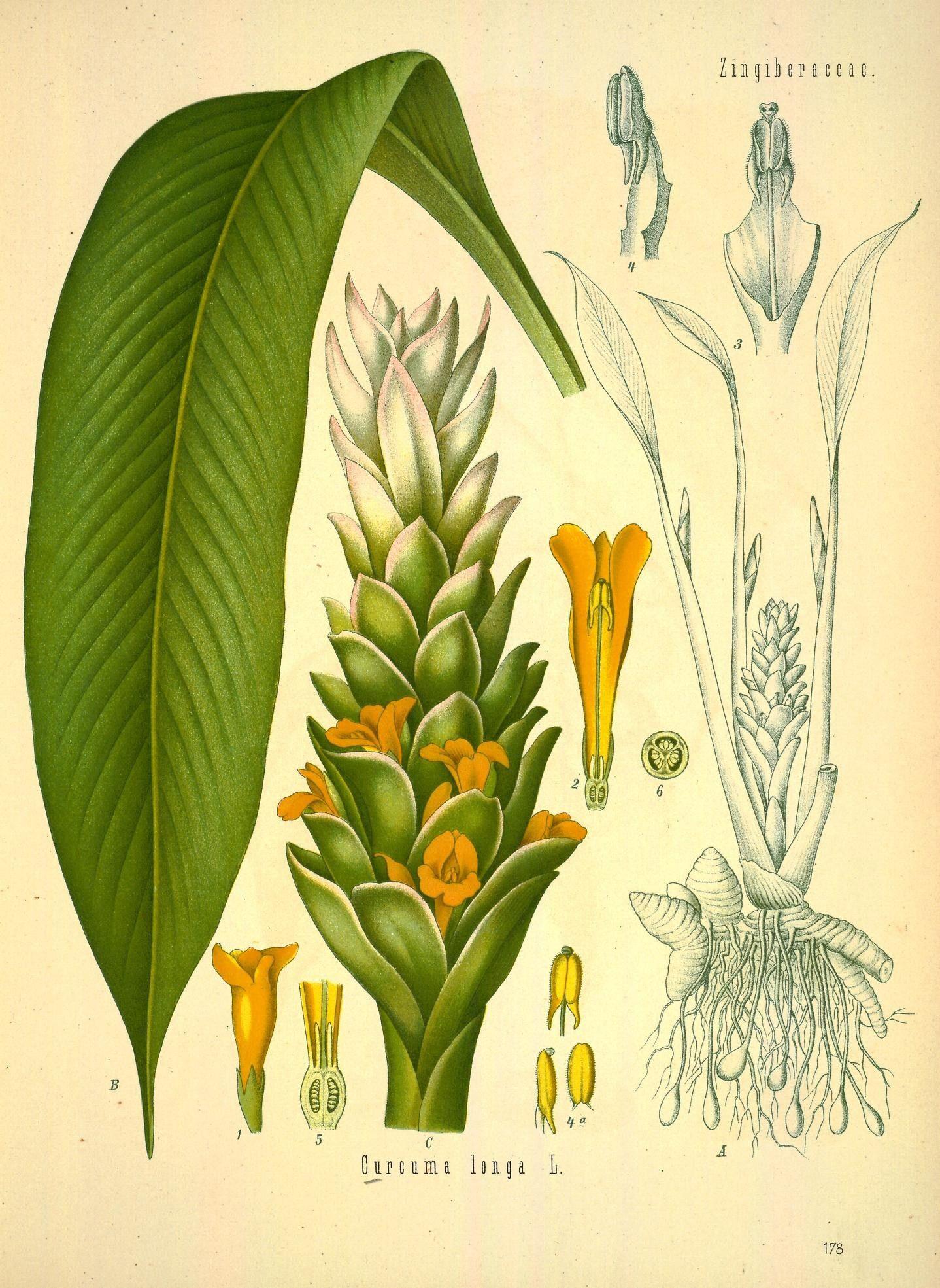 Plant-illustration-of-Turmeric