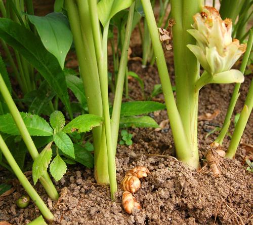 Turmeric-stem