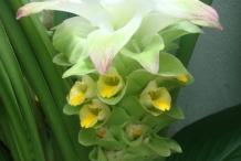 Close-up-flower-of-Turmeric