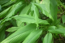 Leaves-of-Turmeric