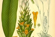Plant-illustration-of-Turmeric