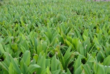 Turmeric-farm