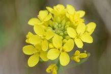 Close-up-flower-of-Turnip