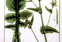 Plant-illustration-of-Turnip