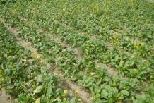 Turnip-farm