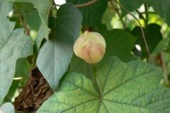 Developing-fruit