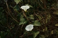 Turpeth-flower