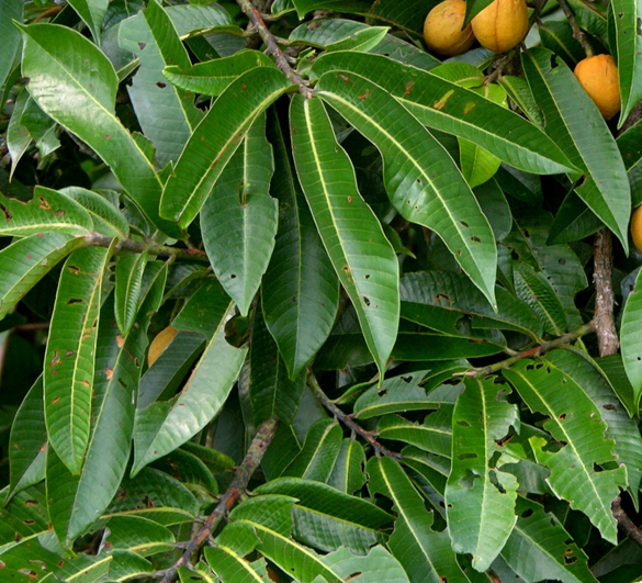 Uccuba-leaves-Chalviande