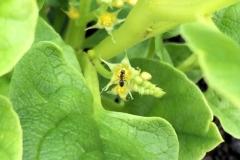 Flowers-of-Ulluco