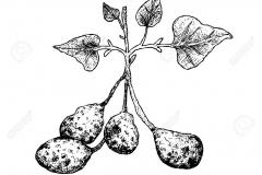 Sketch-of-Ulluco