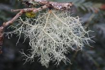 Usnea-fungi-on-the-branch