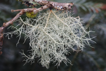 Usnea-fungi-on-the-branch