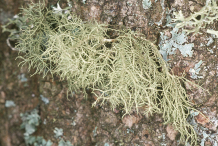 Usnea-on-the-tree