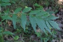 Valerian-leaves