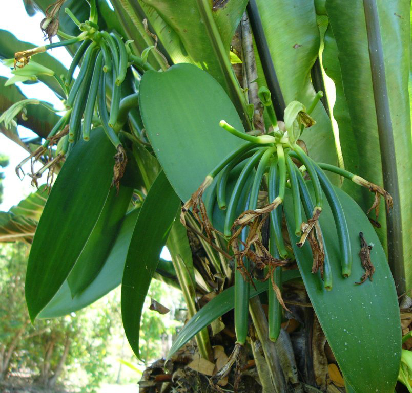Vanilla-leaves-Bainila