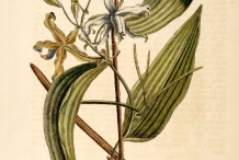 Vanilla-plant-illustration-Vanili