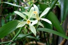 Vanilla-flower-Vanil