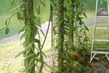 Vanilla-plant-Baunilha