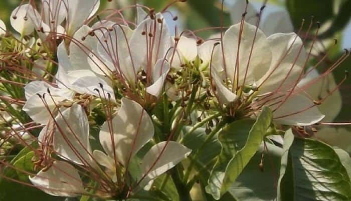 Flowers-of-Varuna