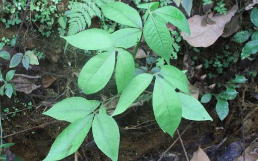 Leaves-of-Varuna