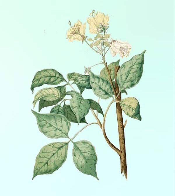 Plant-Illustration-of-Varuna