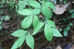 Leaves-of-Varuna
