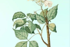 Plant-Illustration-of-Varuna