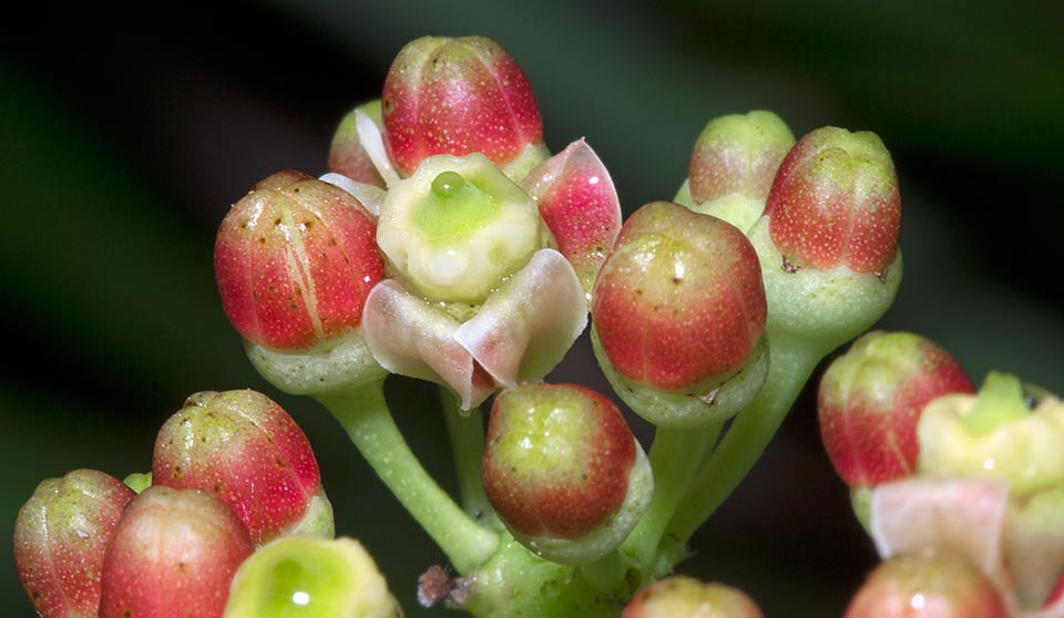 Closer-view-of-flowers-and-flowering-buds-of-Veld-Grape