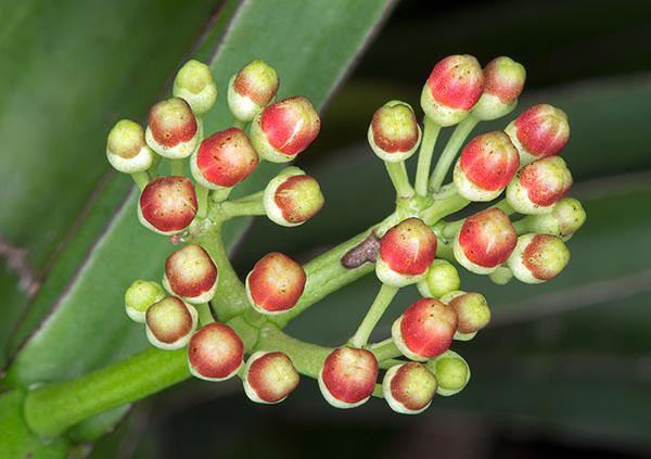 Flowering-buds-of-Veld-Grape