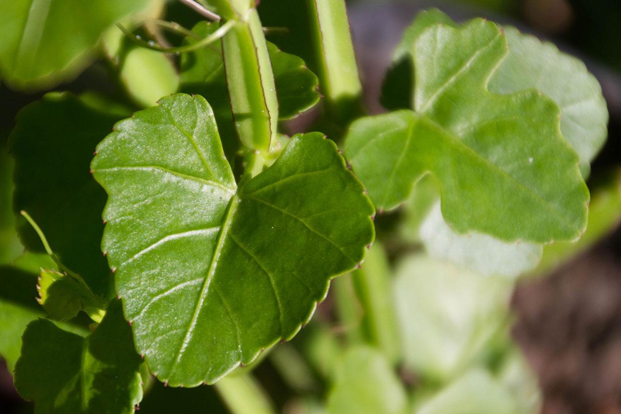 Leaves-of-Veld-Grape