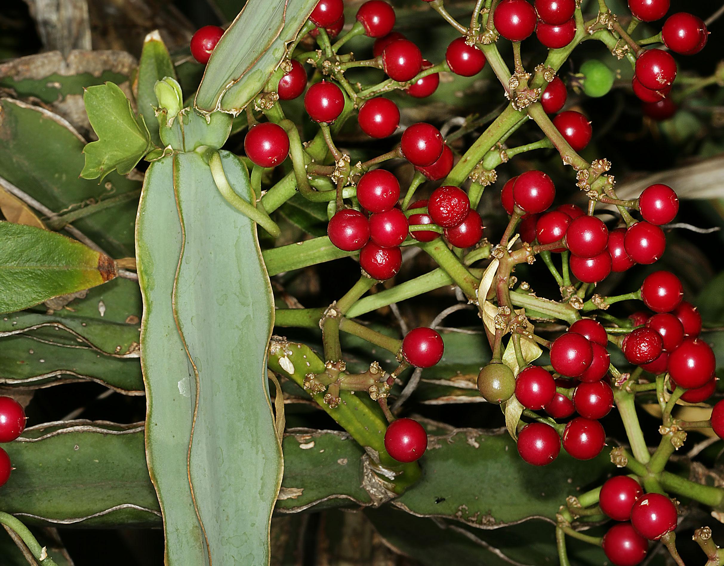 Mature-fruits-of-Veld-Grape