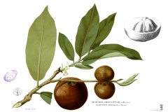 Plant-illustration-of-Velvet-apple