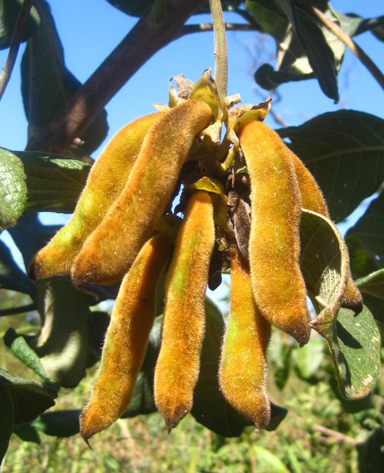 Pods-of-Velvet-beans