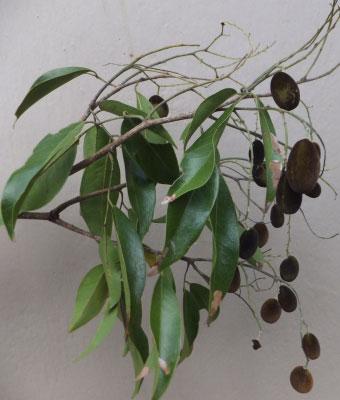 Leaves-of-Velvet-Tamarind