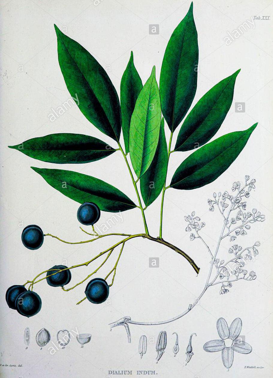 Plant-illustration-of-Velvet-Tamarind