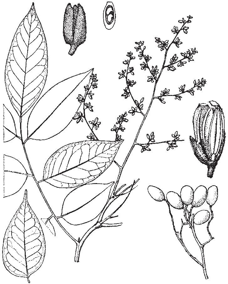 Sketch-of-Velvet-Tamarind