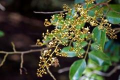 Flower-of-Velvet-Tamarind