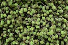 Unripe-fruits-of-Velvet-Tamarind
