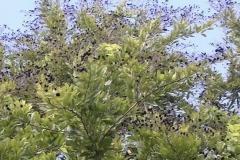 Velvet-Tamarind-tree