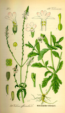 Vervain facts and health benefits