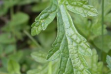 Leaf-of-Vervain-plant