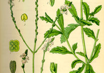 Plant-Illustration-of-Vervain-plant