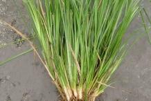 Vetiver-plant