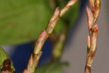 Flowering-tips-of-Vietnamese-coriander
