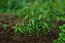 Vietnamese-Coriander-plant