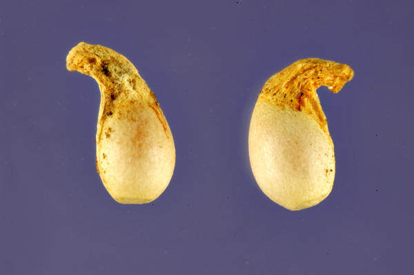 Closer-view-of-Violet-seeds