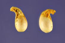 Closer-view-of-Violet-seeds