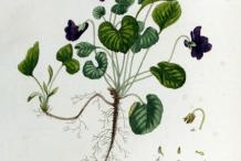 Plant-Illustration-of-Violet-plant